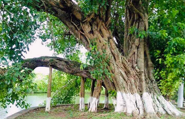 Cay Bo De Nam Dinh.jpg
